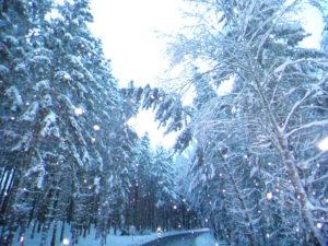 Umgeknickte Bäume durch Schneedruck im Hausruckwald